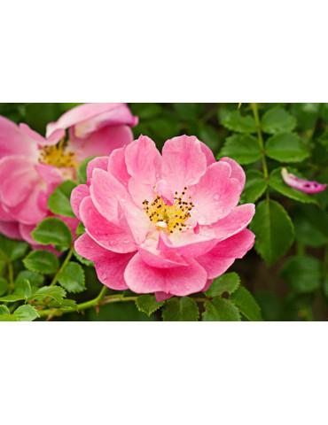 Huile végétale de rose...